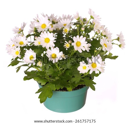 Chamomile in pot isolated in white - stock photo
