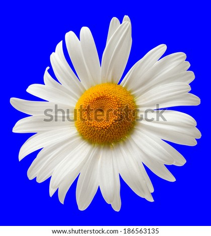 Chamomile isolated on blue background. Close-up view - stock photo