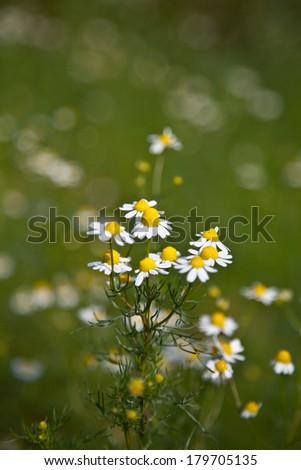 Chamomile (Matricaria chamomilla) - stock photo