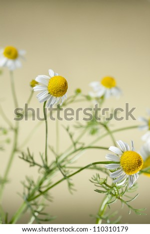 Chamomile, Matricaria chamomilla, close up - stock photo