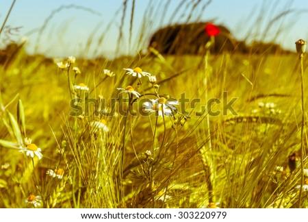 Chamomile (Matricaria chamomilla) in cornfield - stock photo