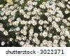 Chamomile meadow - stock photo