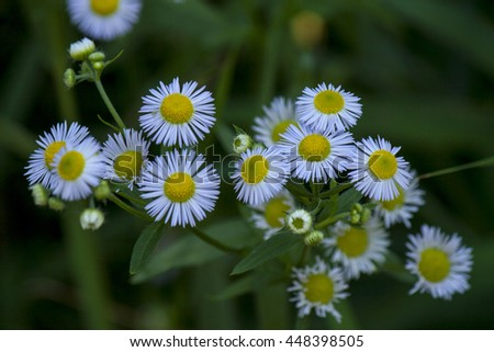 chamomile medicinal plants from disease - stock photo