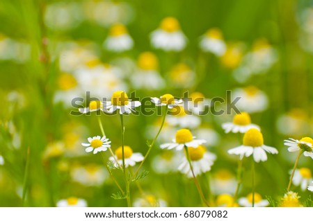 Chamomile on a meadow in northern Germany, close up - stock photo
