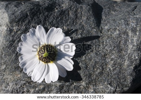 Chamomile on a stone.