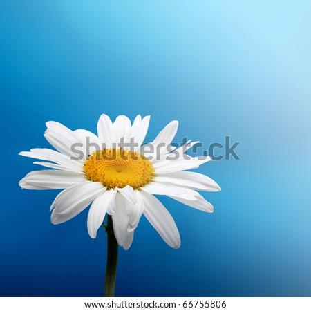 chamomile on blue - stock photo
