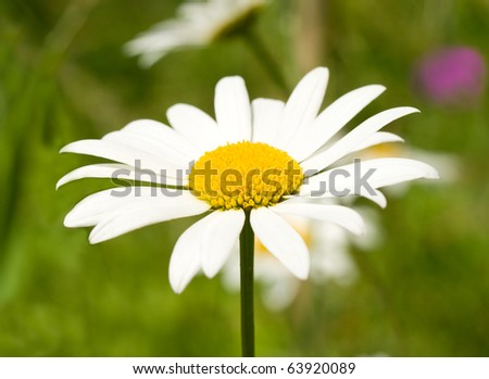chamomile on green grass background