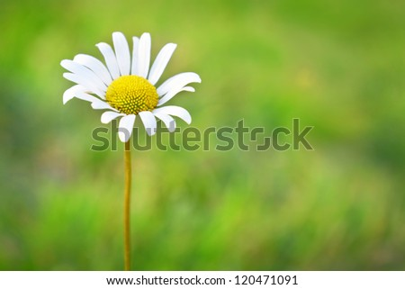 Chamomile on the field with green grass - stock photo