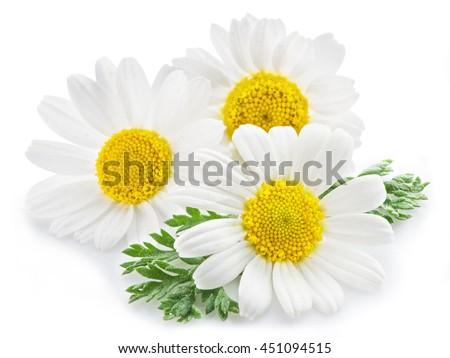 Chamomile or camomile flowers isolated on white background. - stock photo