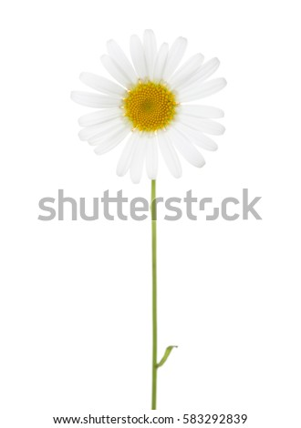 Chamomile (Ox-Eye Daisy ) isolated on white background.