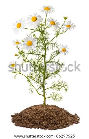 Chamomile plant (Matricaria Chamomilla). Isolated on white. - stock photo
