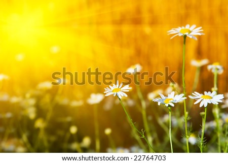 Chamomiles - stock photo
