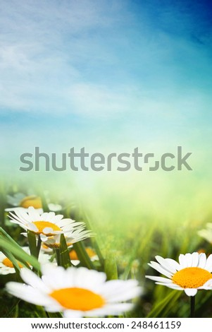 Chamomiles field in sunny summer background - stock photo