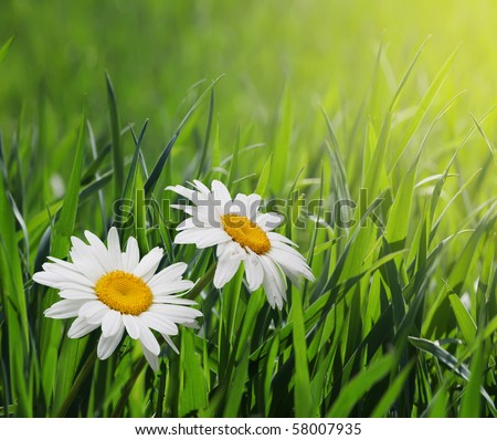 chamomiles in green grass - stock photo