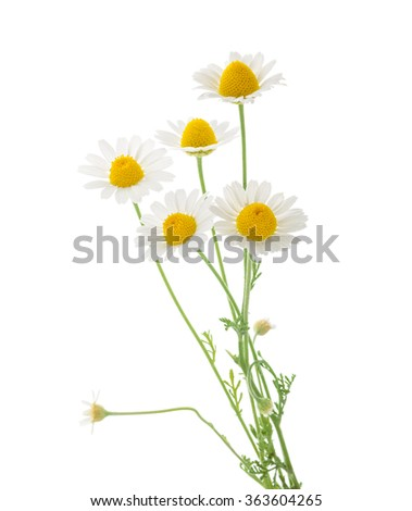 Chamomiles isolated on white background. cutout - stock photo