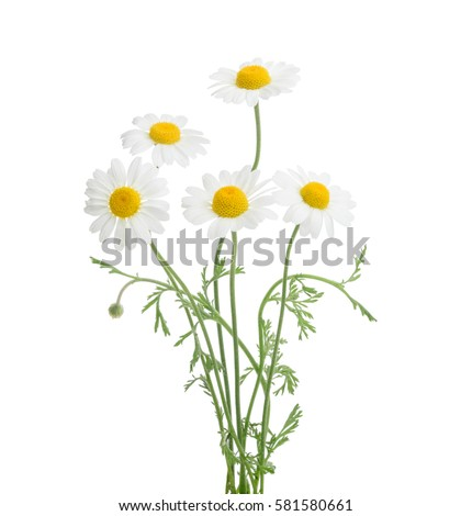 Chamomiles isolated on white background. without shadow