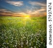 Chamomiles Meadow. Landscape. - stock photo