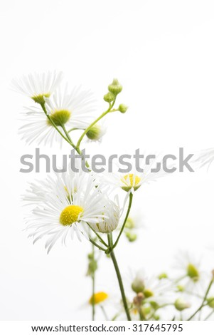 Chamomiles on white background. - stock photo