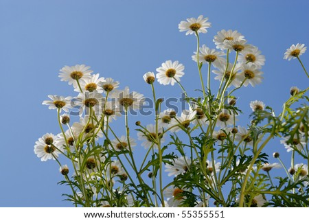 Chamomiles over blue sky - stock photo