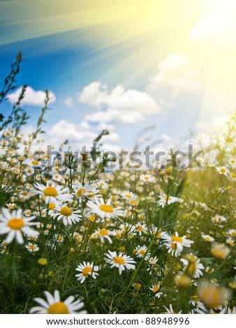 chamomill background - stock photo