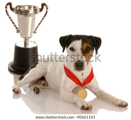 champion dog - jack russel terrier wearing gold medal sitting with trophy - stock photo