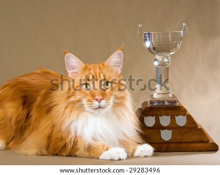 Champion red Maine Coon with trophy on khaki background - stock photo