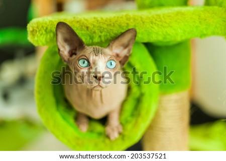 Champion Sphinx cat  - stock photo