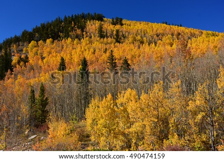 changing aspen leaves in fall on boreas pas,  in the  mountains of colorado