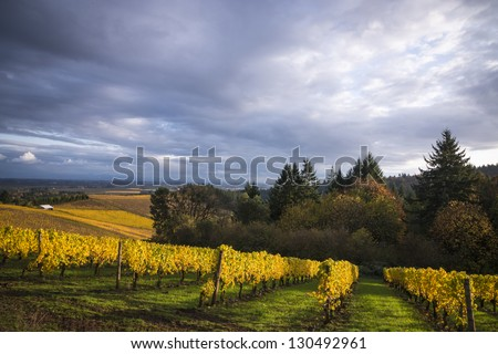 Changing vineyard leaves in fall, Willamette Valley, Oregon - stock photo