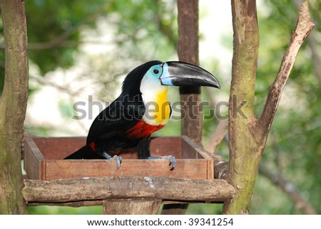 Channel-billed Toucan in artificial nest - stock photo