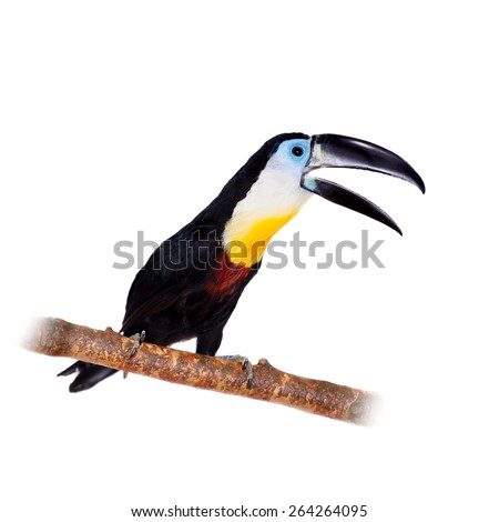 Channel-billed toucan, Ramphastos vitellinus, isolated on white background - stock photo