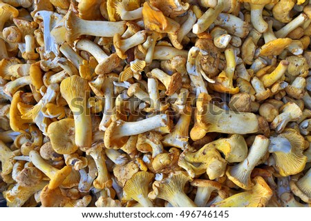 Chanterelle mushrooms as food background.