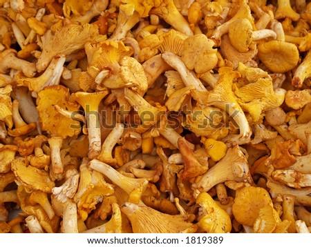 Chanterelle mushrooms, close-up - stock photo