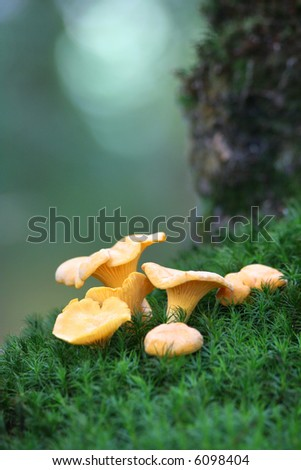 Chanterelles on the moss, in the undergrowth - stock photo