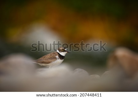 Charadrius dubius on stones - stock photo