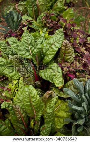 Chard and cabbage in a vegetable garden - stock photo