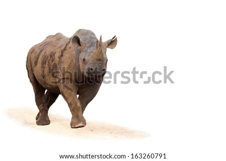 Charging Black Rhino isolated on white background - stock photo