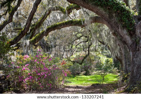 Charleston South Carolina Sunny Spring Scenic Live Oaks, Blooming Azalea, and Spanish Moss - stock photo