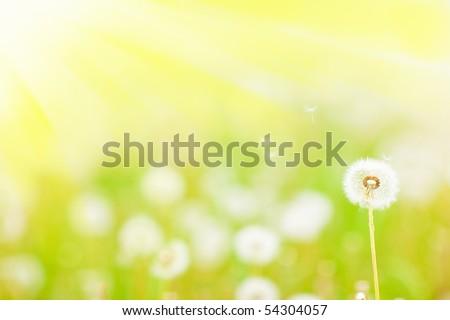 Charm Dandelions - stock photo