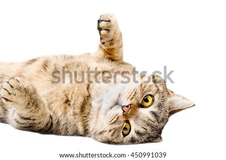 Charming cat Scottish Straight, lying on his back isolated on white background - stock photo