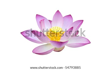 Charming lotus bloom - stock photo