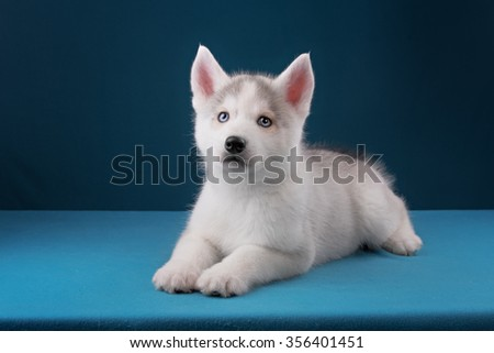 Charming puppy Husky with blue eyes stares into the camera and play in blue studio - stock photo