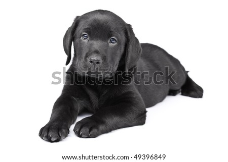 Charming puppy labrador on a white background - stock photo