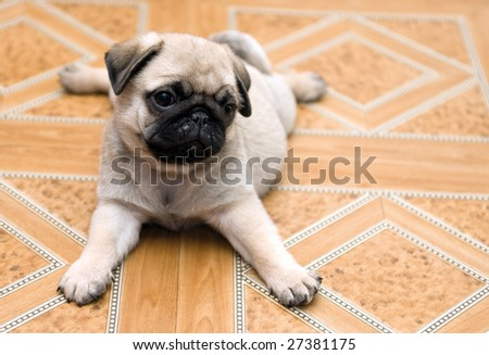 charming puppy of the pug rests upon floor - stock photo