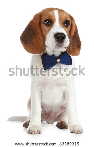 Charming puppy with a bow sits on a white background