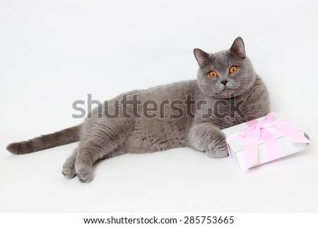 Charming short hair gray British cat holding present gift box  - stock photo