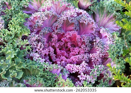 charming violet decorative cabbage in garden - stock photo