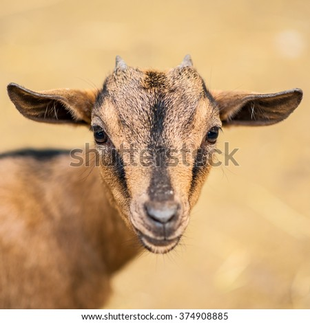 Charming young red haired goat baby close up portrait on blurred homogeous background