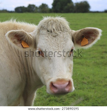 Charolais cow grazing on pasture in Burgundy, France. Charolais cattle are a beef breed of cattle which originated in Charolais, around Charolles, in France - stock photo