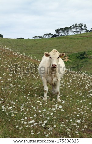 Charolais cow in field of flowers, Northland, New Zealand - stock photo